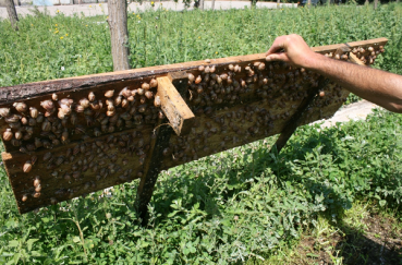 Необычная бизнес идея: разведение улиток виноградных и ахатин